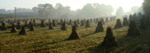 Amish Corn Harvest by Richard Wunsch